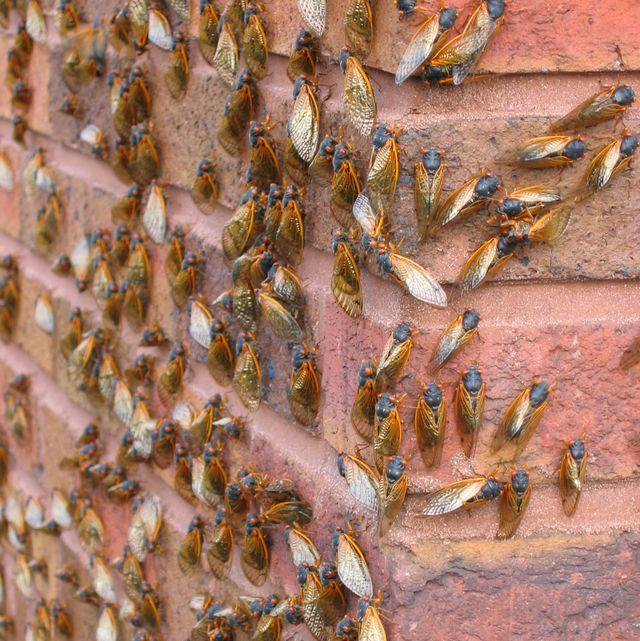 lots of cicadas