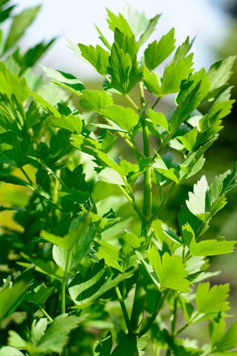lovage plant bunch in garden