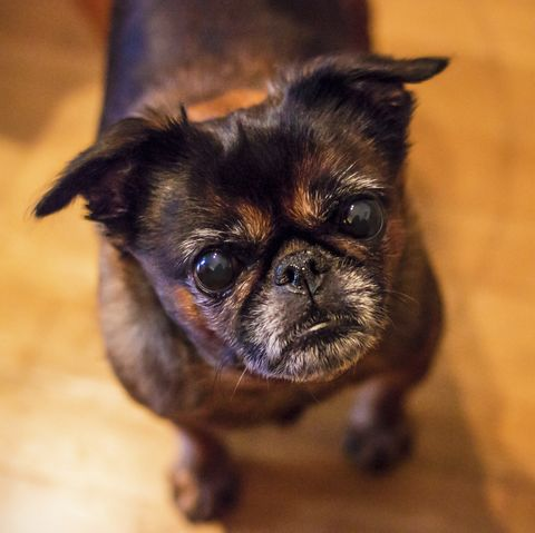 loving dogs most affectionate - brussels griffon
