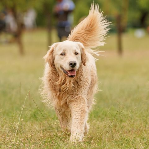 loving dogs most affectionate - golden retriever