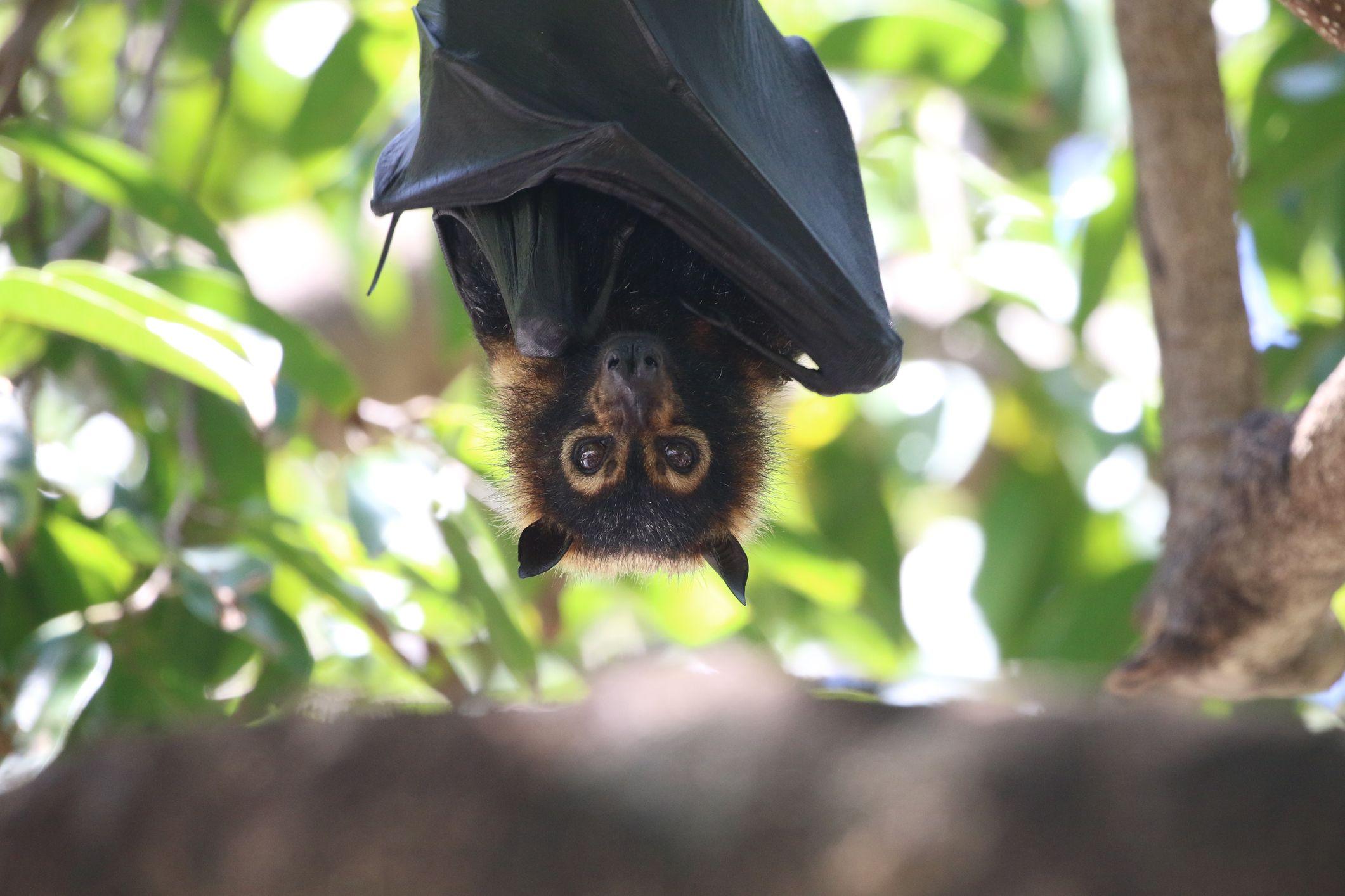 Unlike most bats, fruit bats have excellent vision.