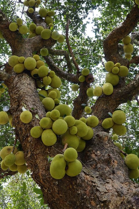 Low Angle View Of Jackfruit Hanging On Tree