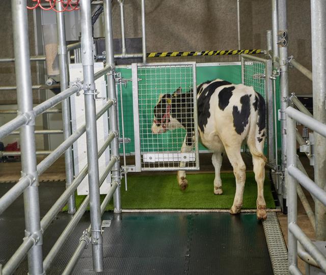 vacas que van al baño
