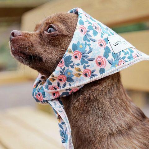 Canidae, Scarf, Dog collar, Neck, Fashion accessory, Collar, Bow tie, Headgear, Ear, Collar,