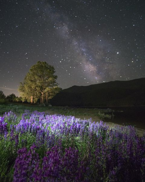 Lupine Wildflowers Blooming and The Milky Way Booming