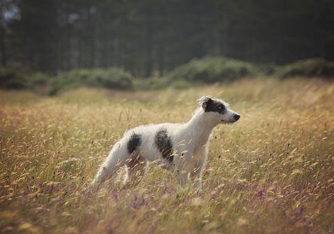 Chiot lurcher sur l'herbe haute