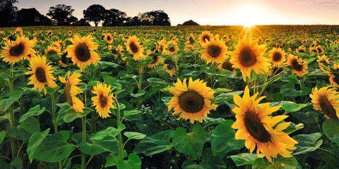30 Best Sunflower Fields Near Me Top Sunflower Fields