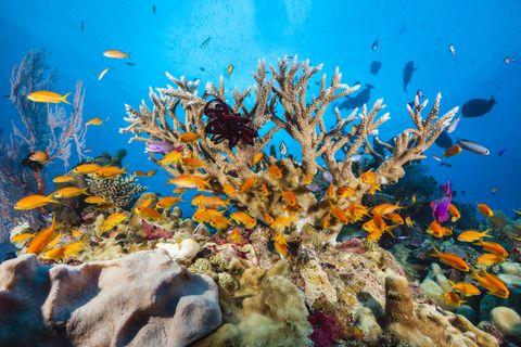 Lyretail Anthias in Coral Reef