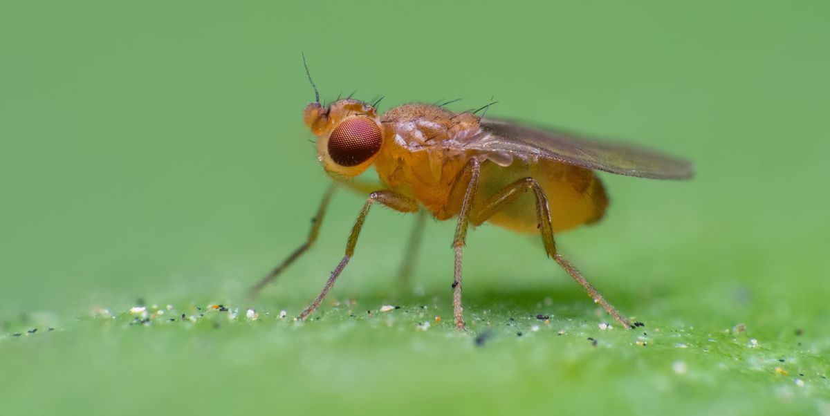 How To Kill Fruit Flies In Your Drain How To Get Rid Of Fruit Flies