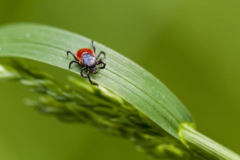 Macro of a tick on an herb
