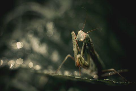 macro shot of a green european praying mantis sitting on green leaves