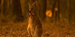オーストラリア, 森林火災, 動物, 死, ニュース