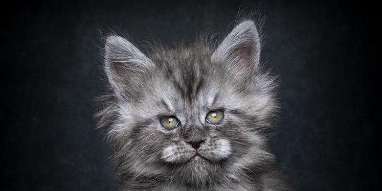prachtige-main-coone-katten
