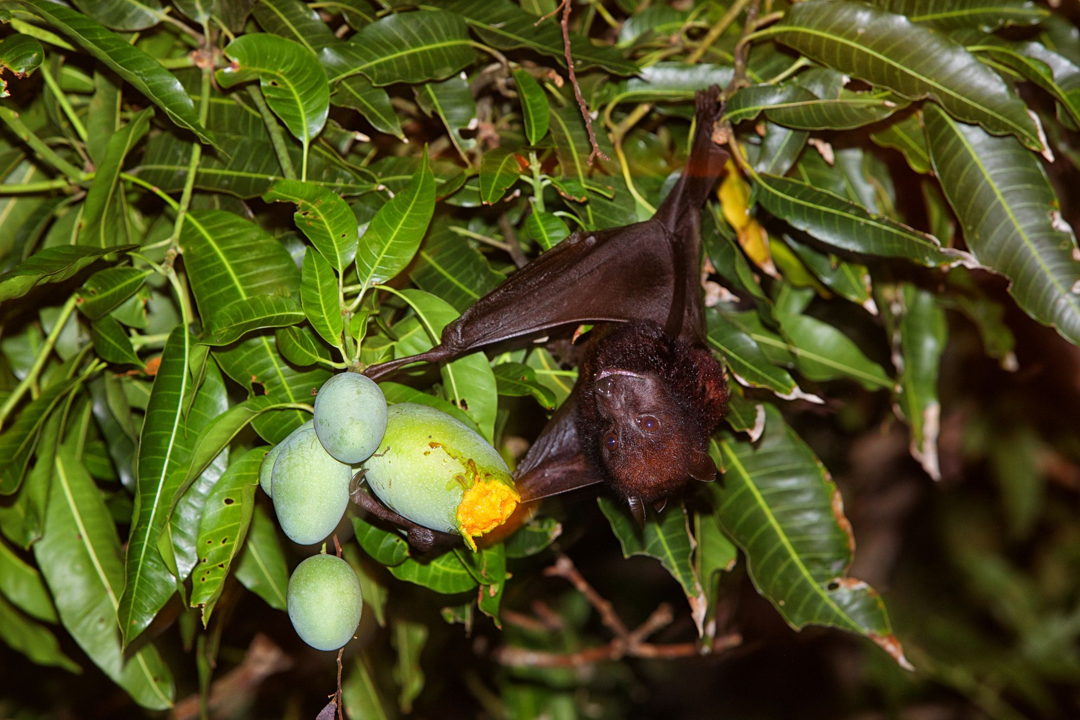 Over 300 species of fruit rely on bats for pollination.