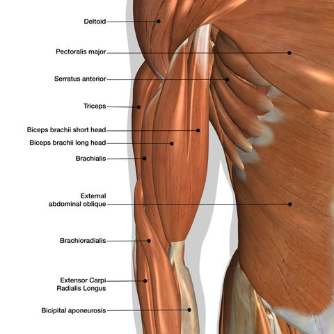 male arm and chest muscles labeled chart on white