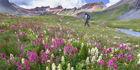 Male hiker walking in the wildflower field on Ice Lake Trail, San Juan Mountains near Silverton, Colorado