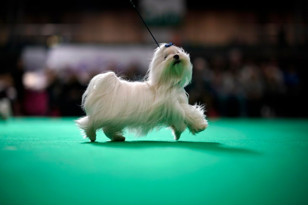 Purina National Dog Show 2020.The National Dog Show On Thanksgiving 2019 Date How To