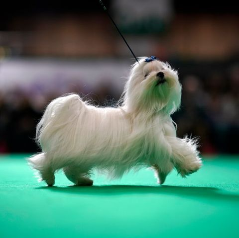 national dog show thanksgiving broadcast