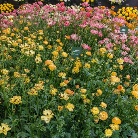 Rococo Ranunculus in the Floral Marquee at the RHS Malvern Spring Festival 2019. Stand 725