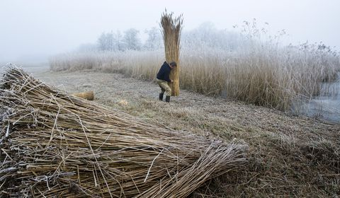 a man processes reeds for thatching on t