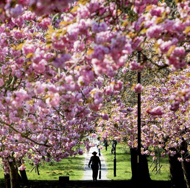 Cherry blossom festivals spring weather