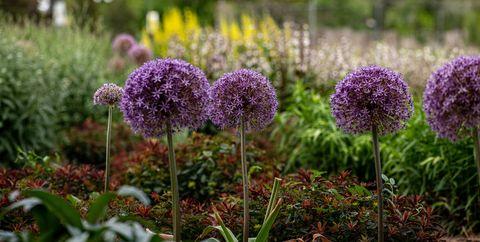 tuin expert anne geeft tips voor bloembollen zodat je tuin lekker lang in bloei staat