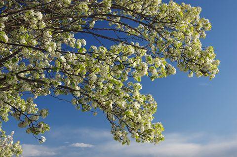 manchurian pear tree in bloom