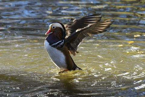 Mandarin Ducks Are Preparing To Migrate To Southern China
