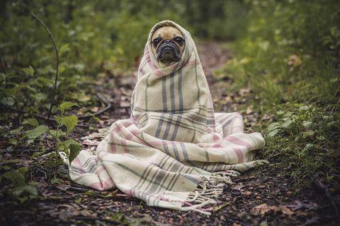 Accesorios para mascotas: Perro con manta