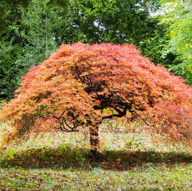 an acer in howick hall gardens, northumberland, uk