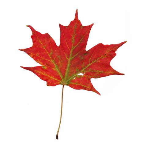 Close-Up Of Yellow Maple Leaves Against White Background