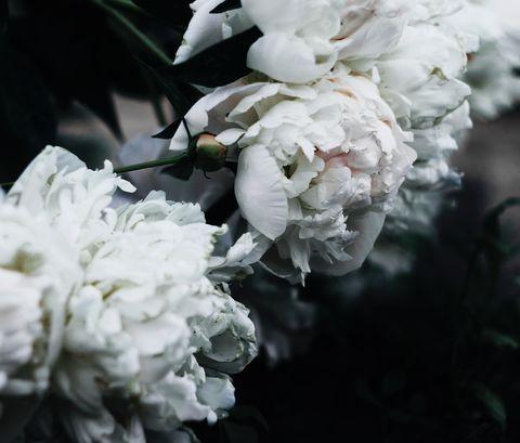 White, Flower, Plant, Petal, Flowering plant, Spring, Peony, Cut flowers, Black-and-white, Rose family,