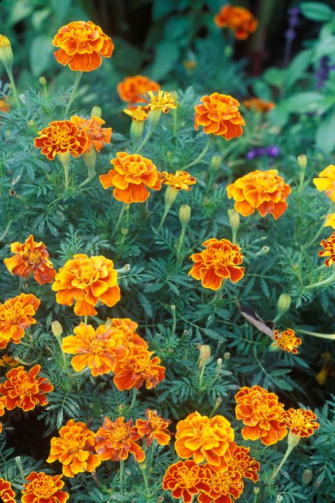 Tagetes patula 'queen sophia' (french marigold) orange flower
