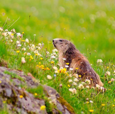 Groundhog Animal Nature Grass