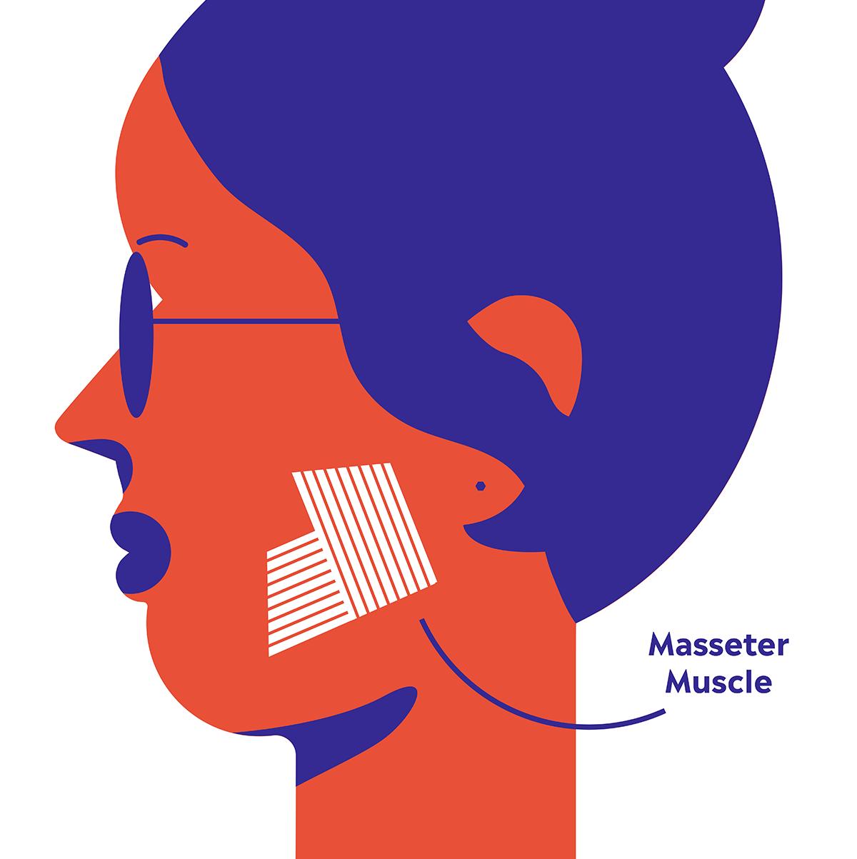 [Image: masseter-diagram-1541533899.png?crop=1.0...size=480:*]