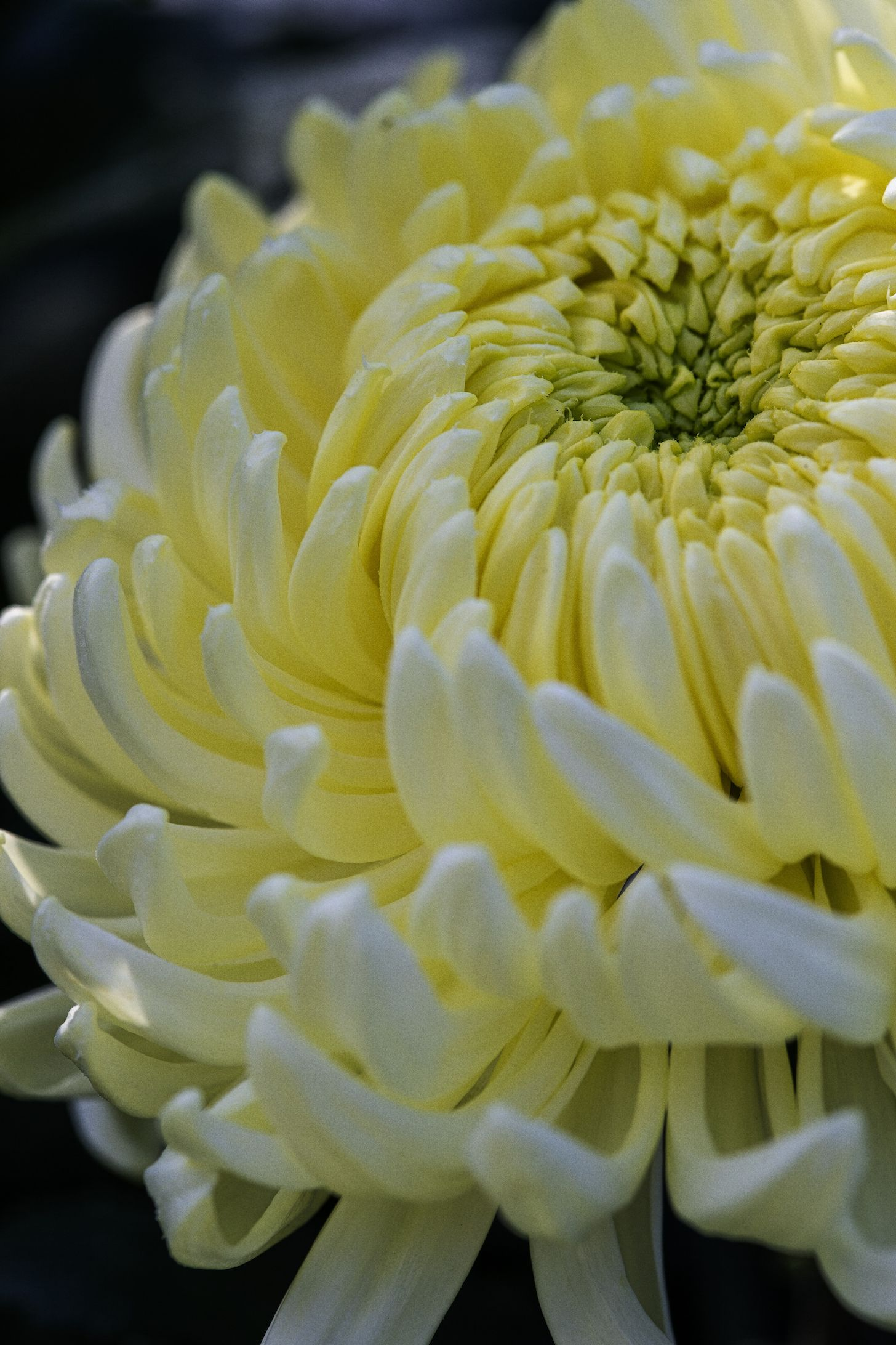 Tatton Park Flower Show 2019: Chrysanthemums Direct will take centre stage as Master Grower
