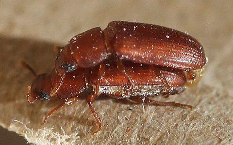 Insect, Invertebrate, Pest, Beetle, Organism, Close-up, Arthropod, Zophobas morio, Darkling beetles, Ground beetle,