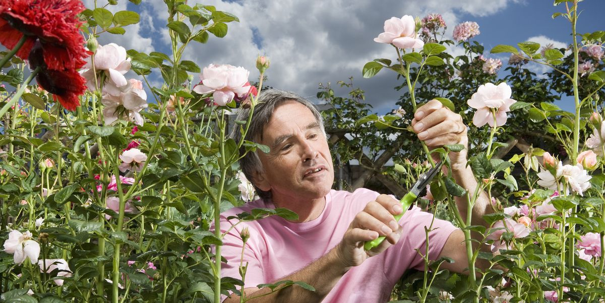 How To Grow Roses Rose Garden Tips