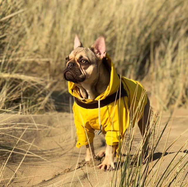 Vertebrate, Dog, Canidae, Mammal, Dog breed, French bulldog, Yellow, Carnivore, Grass, Snout,