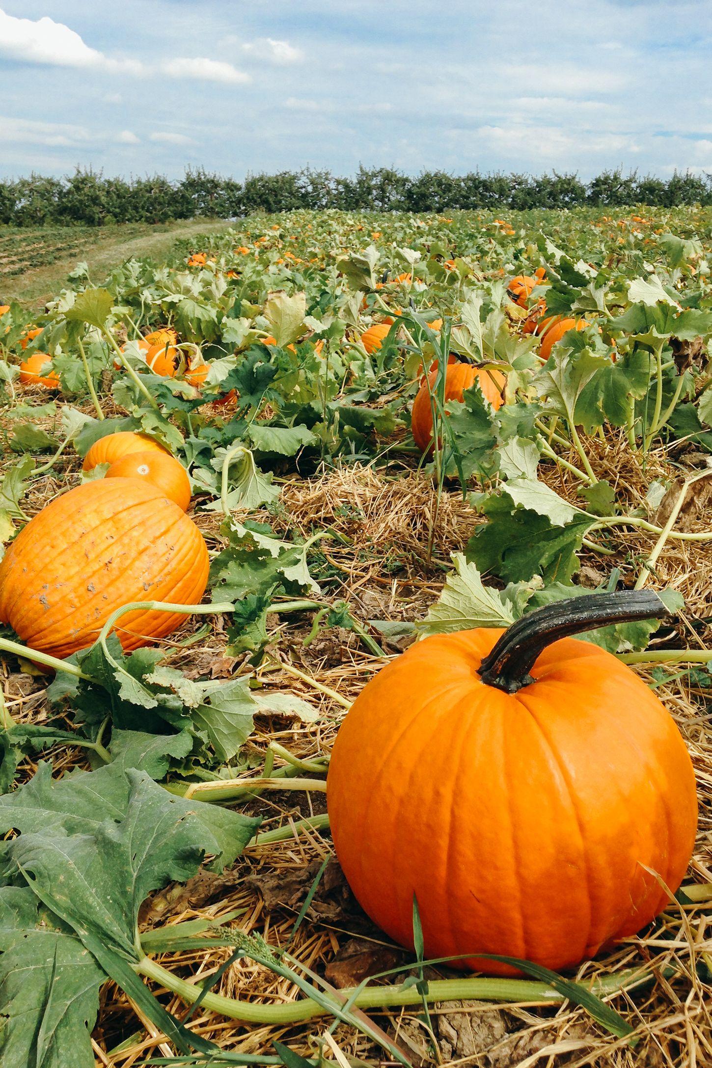 mccalls pumpkin patch - pumpkin farms near me