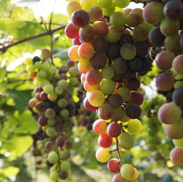 Grape, Flowering plant, Seedless fruit, Plant, Fruit, Grapevine family, Fruit tree, Vitis, Flower, Food,