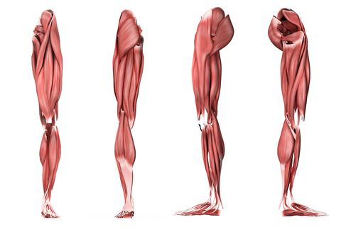 medical illustration of human leg muscles, four side views
