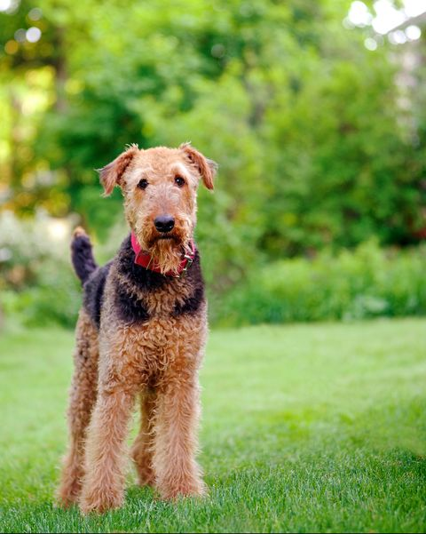 medium dog breeds  airedale terrier