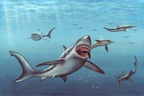 63402e2d Prehistoric Megalodon Shark May Have Been Killed Off by Great White