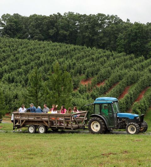 tractor pulling a big wagon with people in it alongside an apple orchard