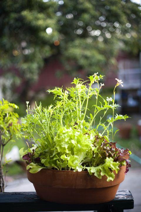 mesclun lettuce growing in pot