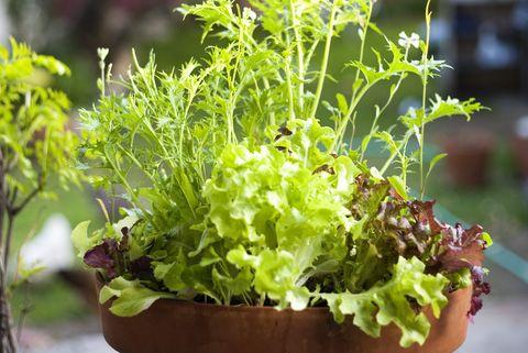 Mesclun greens in flower pot