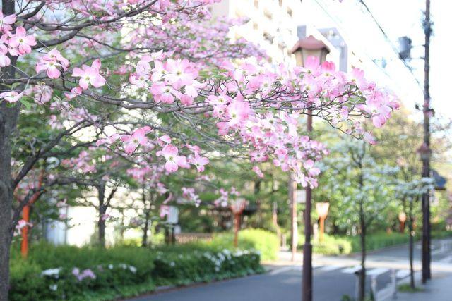 京都 木屋町通りのハナミズキ