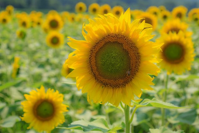 biltmore estate's mile long sunflower patch is now in full bloom