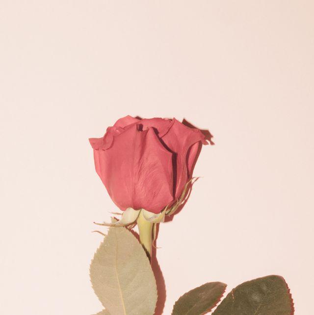 Flower, Pink, Garden roses, Rose, Plant, Petal, Leaf, Rose family, Flowering plant, Botany,